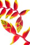Ptak Raju kwiat Zdjęcie Stock