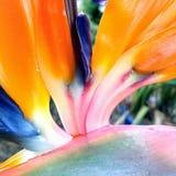 Ptak Raju kwiat Obraz Royalty Free