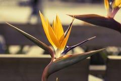 Ptak Raju kwiat Obrazy Stock