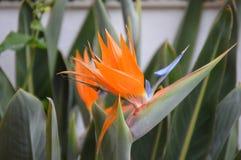 Ptak Raju kwiat Fotografia Stock