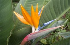 Ptak raju kwiat, madera, Portugalia Obrazy Royalty Free