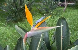 Ptak raju kwiat, madera, Portugalia Zdjęcie Stock