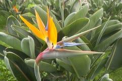 Ptak raju kwiat, madera, Portugalia Zdjęcie Royalty Free