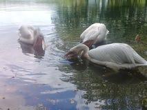 Ptak rewizi jedzenie od wody fotografia royalty free