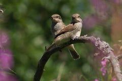 ptak siedzi dwóch gałęzi Zdjęcia Royalty Free