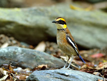 Ptak (Skrzyknący Pitta), Tajlandia Zdjęcia Stock