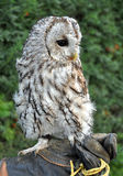 Ptak - sowa Fotografia Royalty Free