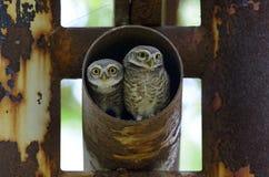 Ptak, sowa, Łaciasty owlet Athene brama Fotografia Royalty Free