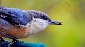 Ptak (szarości Gnatcatcher) Zdjęcia Stock