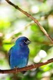 Ptak, Tricolored Finch na gałąź zdjęcie stock