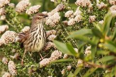 Ptak umieszczający w fynbos Fotografia Royalty Free