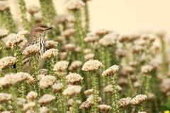 Ptak umieszczający w fynbos Obraz Royalty Free