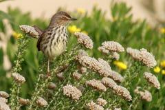 Ptak umieszczający w fynbos Zdjęcia Stock
