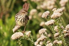 Ptak umieszczający w fynbos Zdjęcia Royalty Free