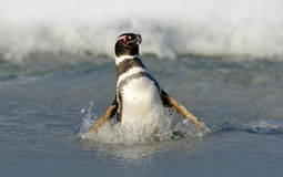 Ptak w fala Pingwin w wodzie Ptak w dennych fala Pingwinu dopłynięcie w fala Denny ptak w wodzie Magellanic pe Fotografia Royalty Free