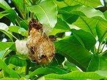 Ptak w jodły gniazdeczku Obraz Royalty Free