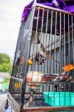 Ptak w klatce Koh Samui, Tajlandia - Zdjęcie Royalty Free
