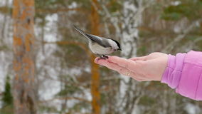 Ptak w kobiety ` s ręce je ziarna zbiory