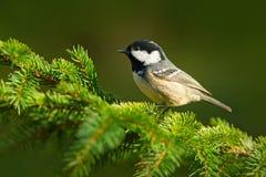 Ptak w lasu węgla Tit, ptaka śpiewającego obsiadanie na pięknej liszaj gałąź z jasnym ciemnym tłem, zwierzę w natury siedlisku, G Fotografia Stock