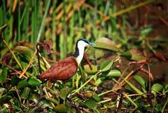 Ptak w liwonde parku Zdjęcia Stock