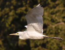 Ptak w locie Zdjęcia Royalty Free