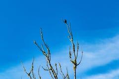 Ptak W Nagich gałąź Z Błękitnym niebem i Whispy chmurami fotografia royalty free
