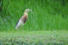 Ptak w naturze (Chińska Stawowa czapla) Obraz Royalty Free