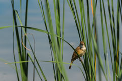 Ptak w płosze Fotografia Stock