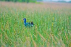 Ptak w polu denna trawa Obraz Royalty Free