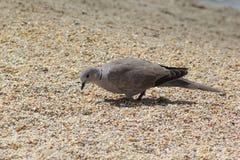 Ptak w poszukiwaniu jedzenia na ziemi w Dubaj, UAE na 28 2017 Czerwu Obrazy Stock