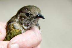 Ptak w ręce Zdjęcia Royalty Free