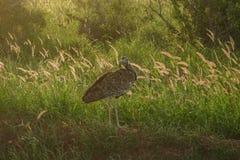 Ptak w savana Obraz Stock