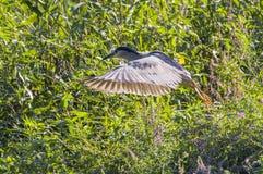 Ptak w stawie Fotografia Royalty Free