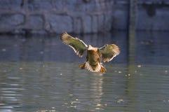 Ptak w stawie Zdjęcia Royalty Free