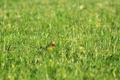 Ptak w trawie Obrazy Stock