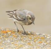 Ptak w wałkowym drzewie Zdjęcia Royalty Free