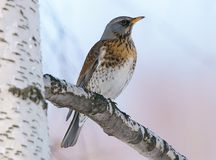 Ptak w wiośnie na brzozy drzewie Zdjęcia Stock