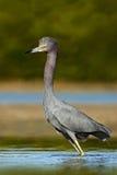 Ptak w wodzie z pierwszy ranku słońca światłem Małego błękita czapla, Egretta caerulea w wodzie, wczesny poranek scena, Floryda U Obrazy Royalty Free