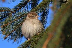Ptak w zimie Zdjęcie Royalty Free