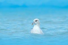 Ptak w zimno lodu błękitne wody Północny Fulmar, Fulmarus glacialis, biały ptak w błękitne wody, zmrok - błękita lód w tle, a Obrazy Royalty Free
