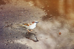 Ptak wrzeciono jest zalany w kałuży obraz stock
