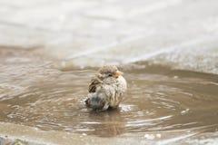 Ptak wrzeciono jest zalany w kałuży fotografia royalty free