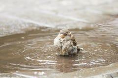 Ptak wrzeciono jest zalany w kałuży fotografia stock