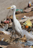 ptak wysypiska egret sity Egiptu Obrazy Stock