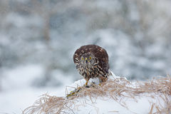 Ptak z chwyta zielonym dzięciołem Ptak zdobycza jastrzębia zwłoki obsiadanie na śnieżnej łące z otwartymi skrzydłami i ptak, zama Zdjęcie Stock
