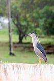 Ptak z czerwienią ono przygląda się na krawężniku, ptak także znać jako Soco Dorminhoco ptak w Brazi Obraz Royalty Free