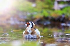 Ptak z czerwoną głową na nawadniać pogodnego punkt zapalnego Fotografia Stock