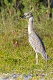 Ptak z Czerwonymi oczami Fotografia Royalty Free