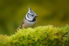 Ptak z grzebieniem, republika czech ptak w natury zieleni mech siedlisku Przyroda Europa, ptak śpiewający Czubaty Tit obsiadanie, Fotografia Royalty Free