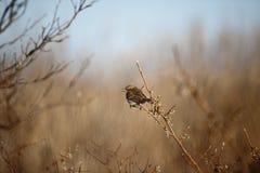 Ptak z jagodą Fotografia Royalty Free